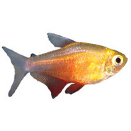 Orange Von Rio Flame Tetra