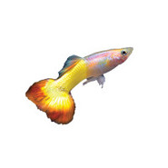 Tequila Sunrise Delta Guppy